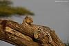 Leopard relaxing . Ndutu  Tanzania.
