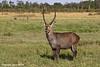 Water Buck ,male. Masai Mara Kenya.