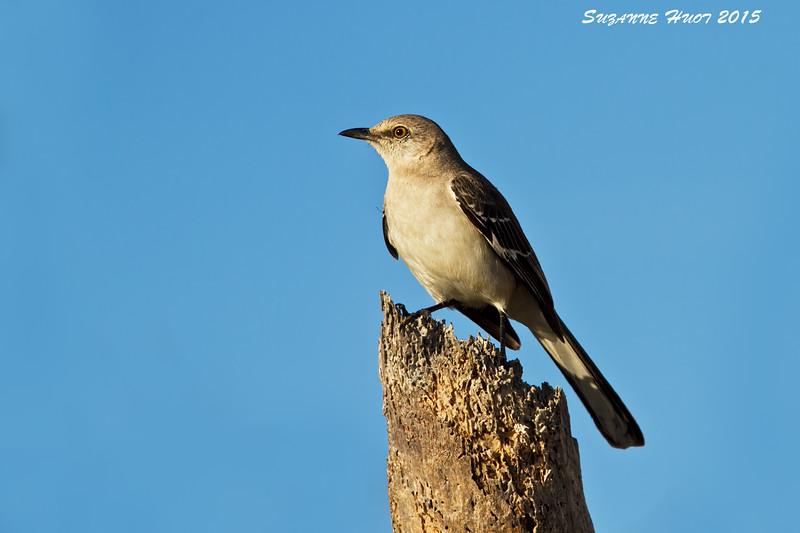 Mocking bird. San Jose Mexico.