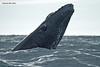 Humpback Whale calf. Cabo san. Lucus  Mexico