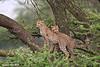 Cheetah cubs.  Ndutu  Tanzania.