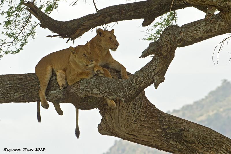 Lionesses at rest.  Serengeti Tanzania.