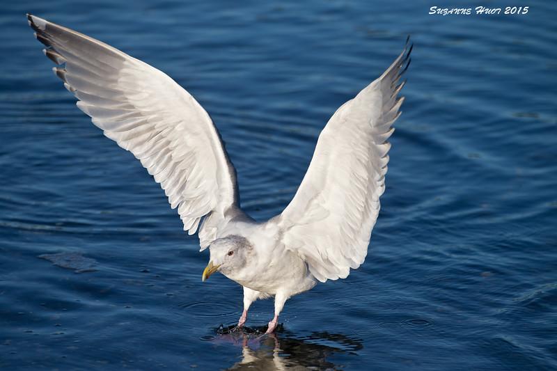 California Gull  juvenile ? Esquimault Lagoon. B.C