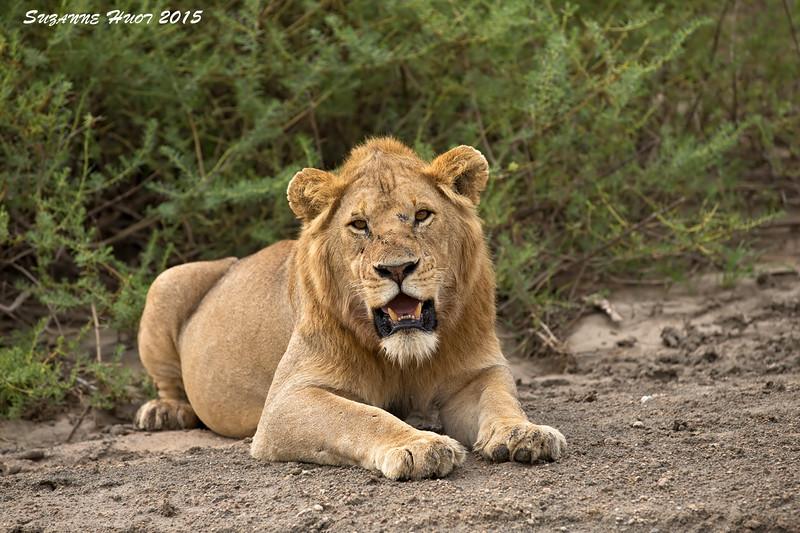 Young male Lion .Ndutu Tanzania.