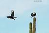 A pair of nesting Cara Cara's .San Jose Mexico.