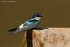Mangrove Swallow.
