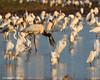Jabiru Stork with catch