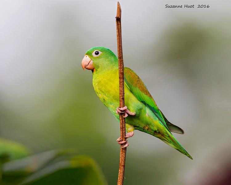 Parakeet TBA