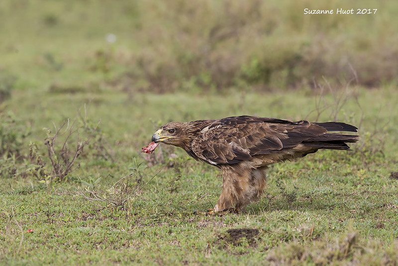 Tawney Eagle  scavenging  from a Lions kill.