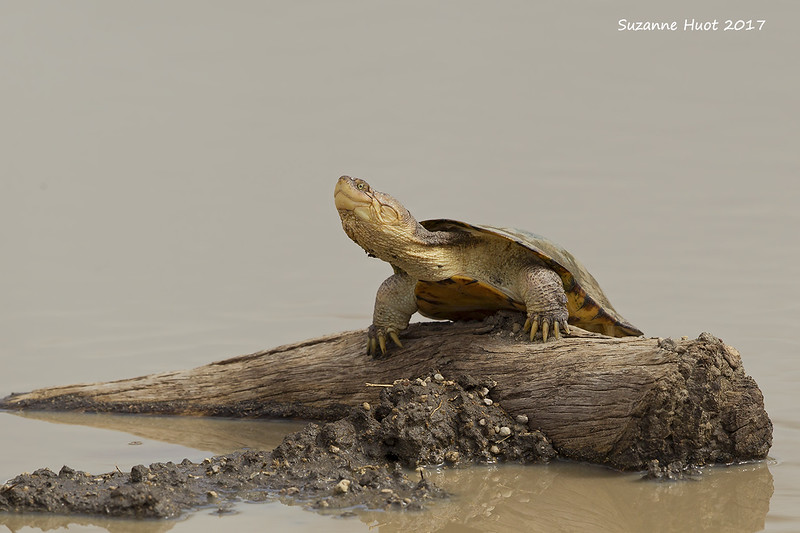 Turtle sunning itself '