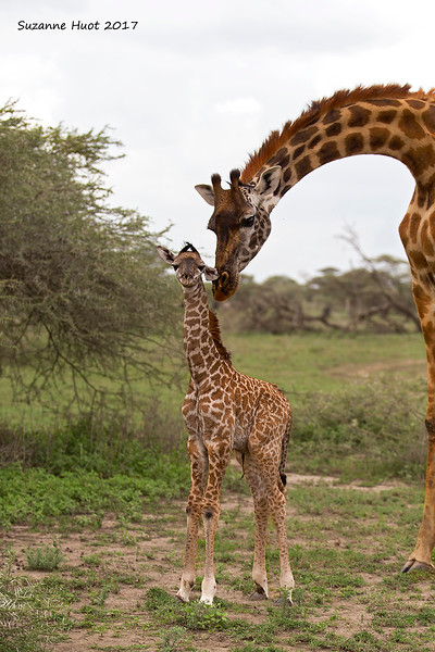 New born Masai Giraffe calf.
