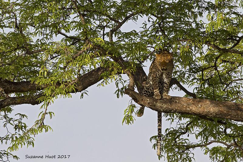 Leopard keeping an eye on us.