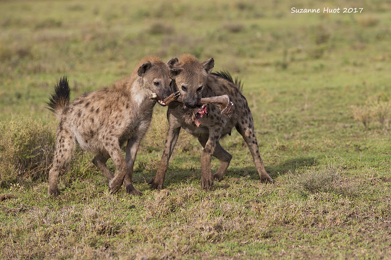 Spotted Hyenas arguing about part of a Wildebeest calf they had killed .