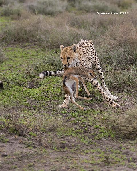 Cheetah with newborn Thomson's Gazelle