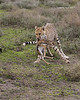 Cheetah with newborn Thomson's Gazelle