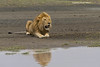 Male Lion reflection.