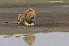 Male Lion reflection.