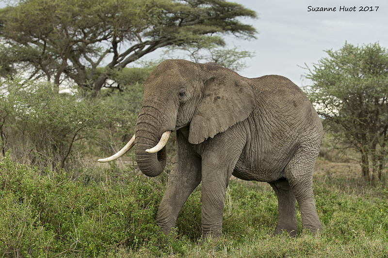 African Elephant feeding.