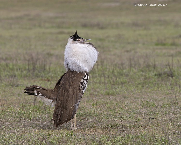 Kori Bustard male displaying.