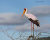 Yellow-billed Stork.