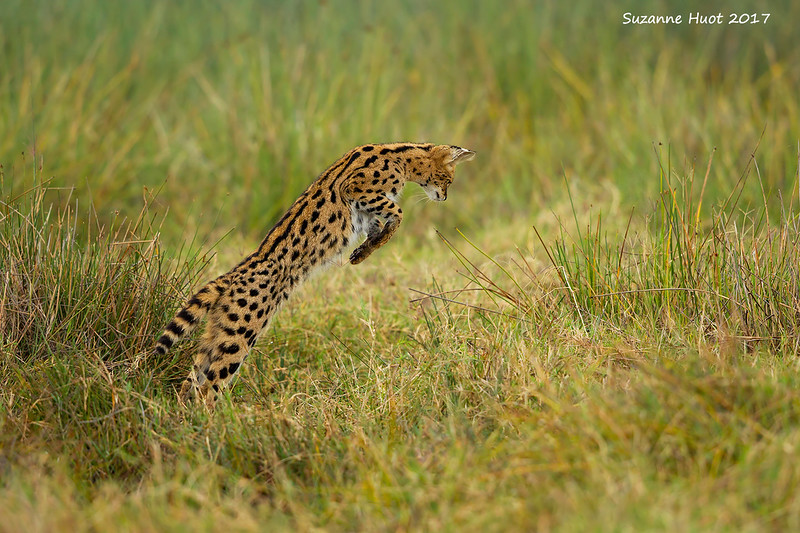 Serval cat about to pounce on a victim.