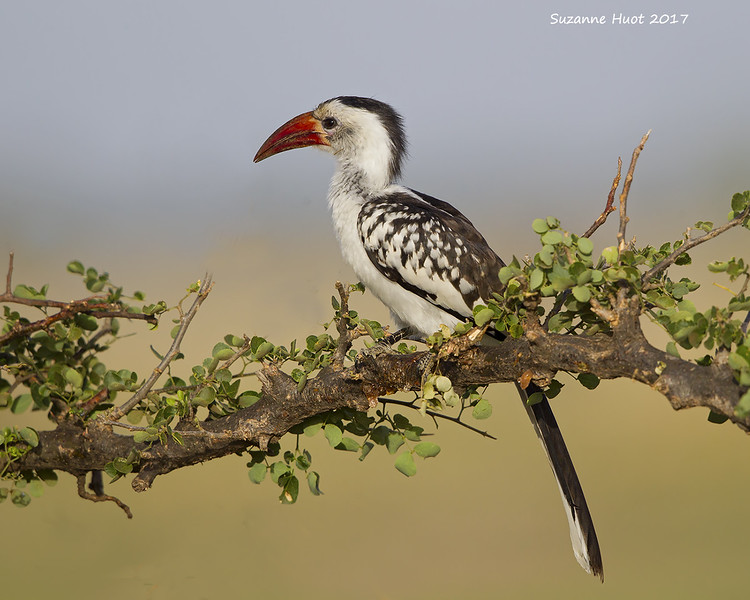 Red-billed Hornbill'