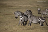 Pair of Zebra Stallions fighting.