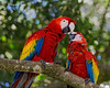 Wild scarlet macaws bonding