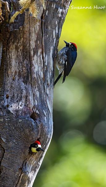 Acorn woodpecker nest