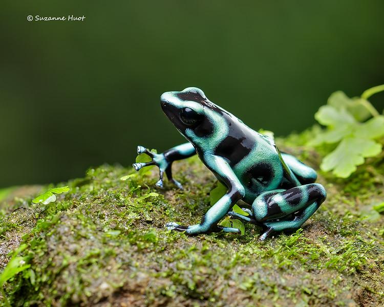 Green  black Poison dart frog