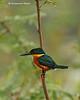 American pygmy kingfisher in the rain