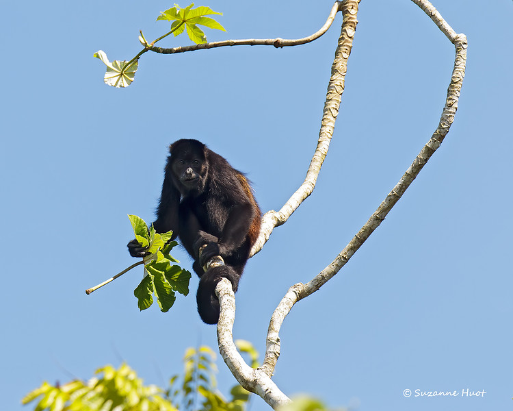 Howler monkey  with lunch in hand