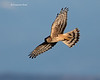 Northern harrier hunting  female