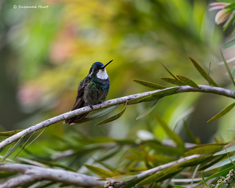 White-throated mountain gem  hummingbird