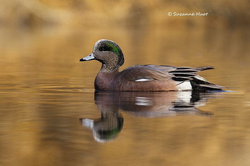 North American Wigeon