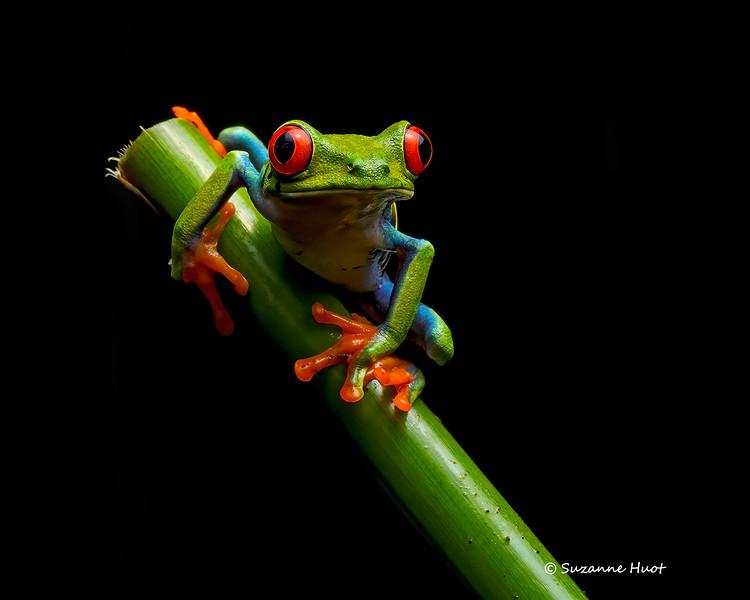Redeyed tree frog