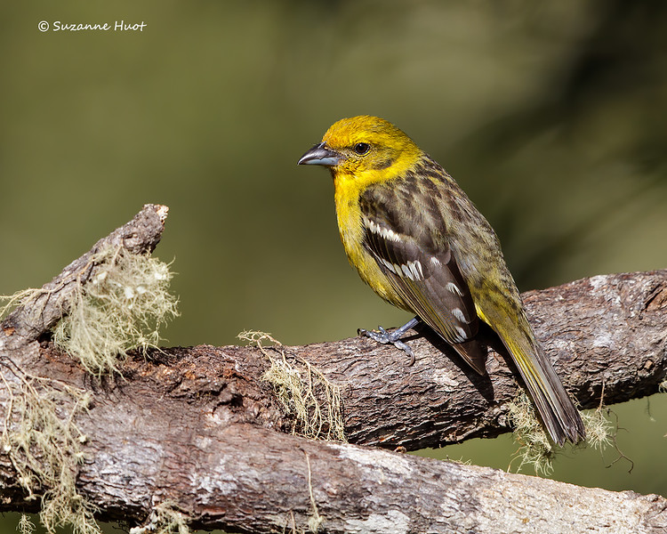 Flame tanager   female