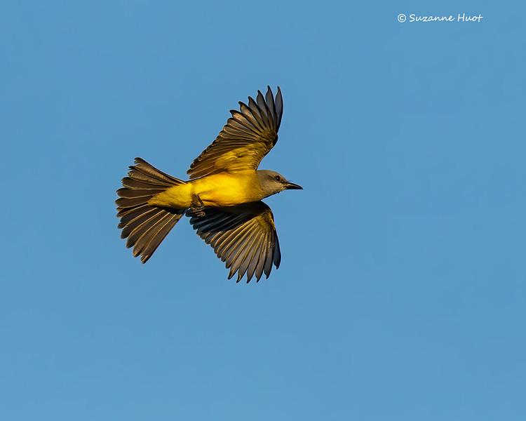 Tropical King-bird
