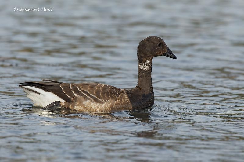 Brandt's goose