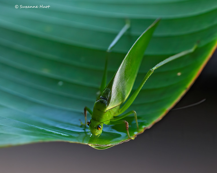 Katydid  drinking water from a palm leaf