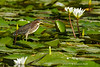 Little green heron amongst  the water lilies hunting