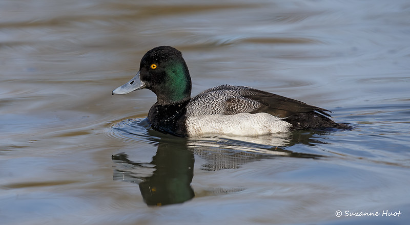 Lesser Scaup reflection