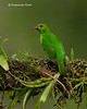 Green-honeycreeper with bee   female