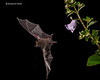 Nectar -eating bat