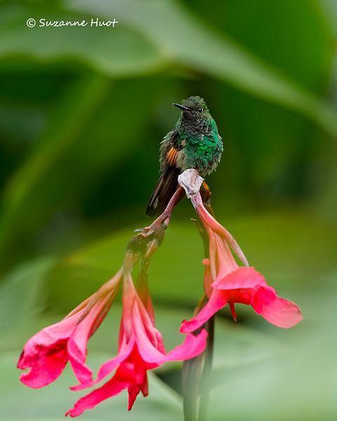 Stripe-tailed humminbird