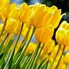 Pella Tulips 2014 020