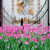Pella Tulips 5-9-14 069