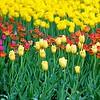 Pella Tulips 5-9-14 062