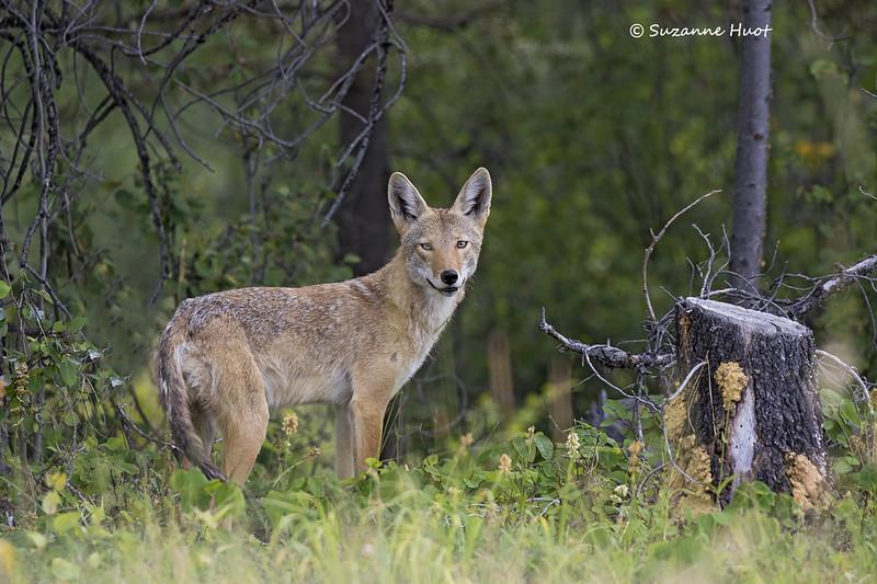 Shy Coyote