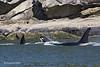 Transient Orca calf